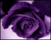 violetrose1922: (violet rose)