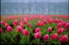sadovodnoe: (тюльпаны)
