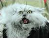 varera: (злой кот)