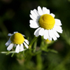 kamomil: chamomile flower (chamomile flower)