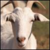 wallflowerdalek: (Goatface)