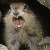 angry_marmot: (BarkingMarmot)