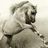 sasha_feather: beautiful gray horse. (majestic horse)