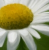 quivo: Watercolor of a daisy (Daisy)