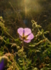 marmota_b: Photo of a purple flower against sunlight, shining through (End of August, sunlight, flower)