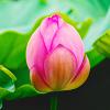 thady: (DIV  -  tulip)