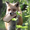 asfreeasleaves: A fox with a piece of bread in his mouth. (Axel)