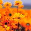 munibunny: (orange flowers)