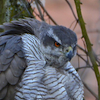 goshawk: a northern goshawk perches in a tree, feathers fluffed up (Default)