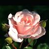d_a_n_n_y: (rose)