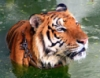 dreamrealizer: (тигра)