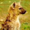 hyenaboy: (hyena)