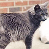 glamourcat: A side shot of a thin, gray kitty standing up and looking to the right. (default)