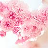 politicette: (Cherry Blossoms)