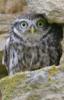 sova_f: (stone-owl)