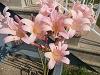 lara_quinn: Naked Lily (lily)