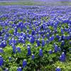 ext_87993: (Bluebonnets)