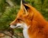 fox_confessor: (Fox Confessor)