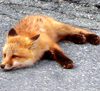 vixy: (fired fox)