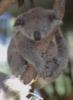 92_lina: Koala schlafend (Koala schlafend)