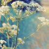 inevitableentresol: plant in field, romantic (Backlit cow parsley)