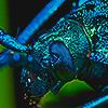 carapacing: (bug)
