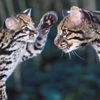 ocelot: (mom and baby) (Default)