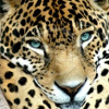 ext_87679: (jaguar-blueeyes)