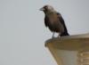 malamant: Галка / Corvus monedula (Default)