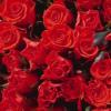 lugovaya: (красные розы)