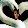 lugovaya: (Лебеди)