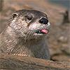 sunnymodffa: (Taunty Otter)
