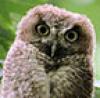 persis: (Owl)
