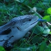 folknits: blue tongue skink (Default)