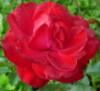 e_koala: (роза)