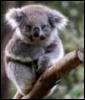 e_koala: (коала)