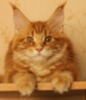 v_rednaia: (maine coon)