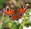 bitesizedreading: Peacock Butterfly (butterfly) (Default)