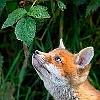 lenkka: (fox&grape)