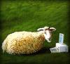 frau_dabbler: (овца)