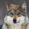 wildmage_daine: (wolf confused)