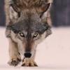 wildmage_daine: (wolf stalking)