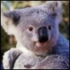 morigor: (koala)