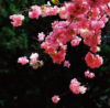 hilarytamar: a spray of cherry blossoms (Default)