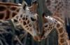amaranta: (жирафы)