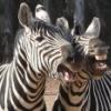chukchenka: (zebra)