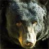 major_p: (медведь)