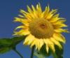 kl_sonnenblume: sonnenblume (sonnenblume)