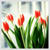 denpagirl: (Tulips)