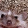guinevak: a hedgehog looking smug (hedgehog)